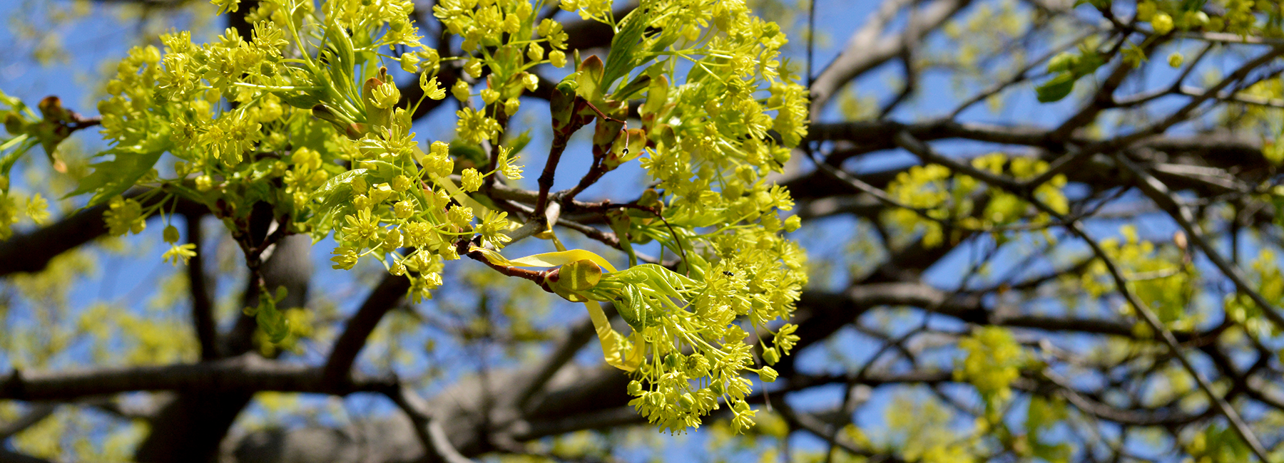 Close up of a tree with leaves budding