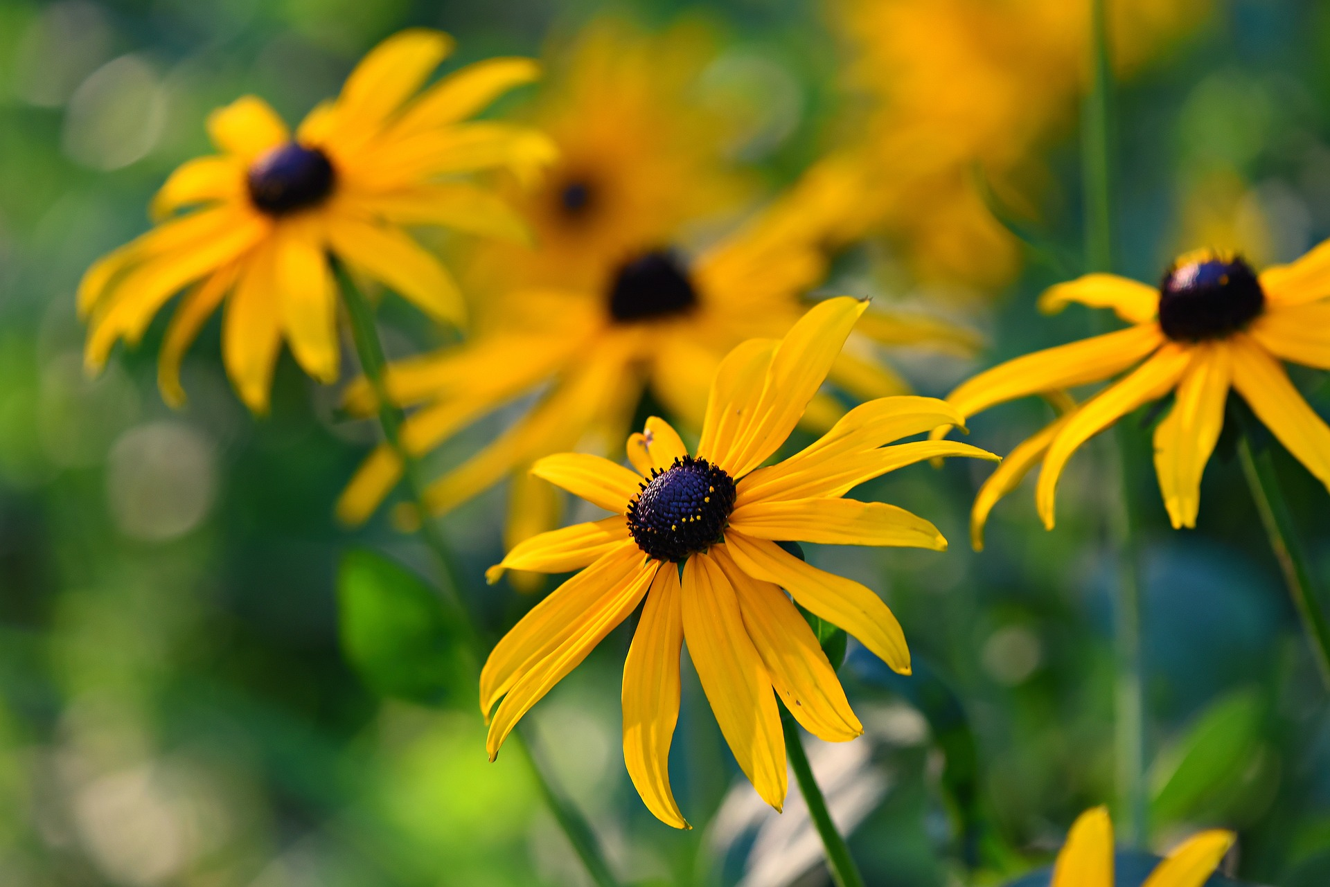 rudbeckia-Image by Mabel Amber, still incognito... from Pixabay